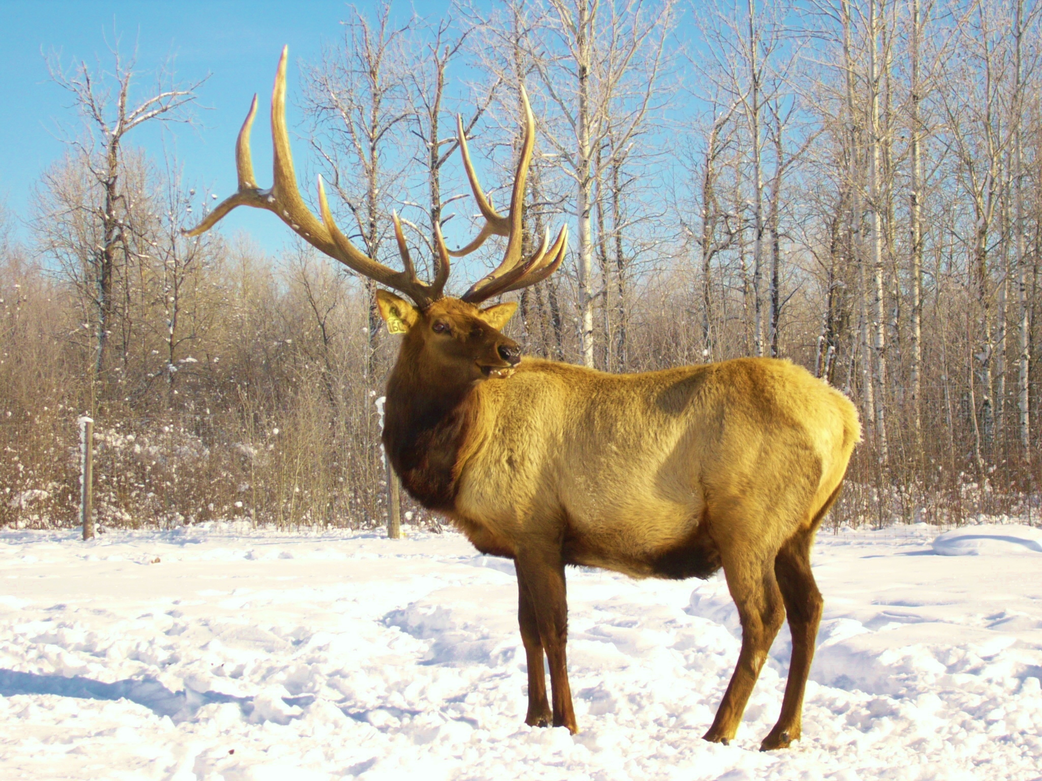Rainy River Elk Company bull elk breeding stock
